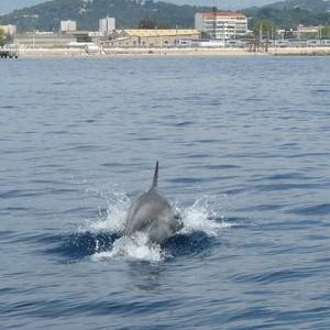 dauphin en baie de Cannes