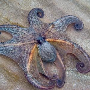 poulpe sur le sable